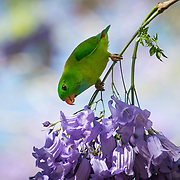 This green parrot is driven mainly by the availability of the fruit, seeds, buds and blossoms that make up its diet.