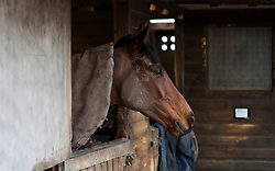 A Race Horse at a stable in Worcestershire. An outbreak of equine flu has forced the cancellation of all British racing on Thursday.