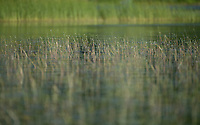 Lake life in New Hampshire.  Great Egret and Blue Heron in their natural habitat.  ©2020 Karen Bobotas Photographer
