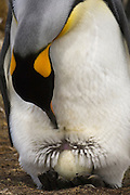 King Penguin (Aptenodytes p. patagonica). Incubating egg on feet. <br /> Volunteer Point, Johnson's Harbour, East Falkland Island. FALKLAND ISLANDS.<br /> RANGE: Circumpolar, breeding on Subantarctic Islands. Extensive colonies found in South Georgia, Marion, Crozet, Kerguelen and Macquarie Islands. The Falklands represent its most northerly range. They are highly gregarious which probably accounts for it common association with colonies of Gentoo Penguins.<br /> King Penguins are the largest and most colourful penguins found in the Falklands. They have a unique breeding cycle. The incubation of one egg lasts for 54-55 days and chick rearing 11-12 months. As the complete cycle takes more than one year a pair will generally only breed twice in three years.
