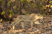 Sasan Gir - Monday, Jan 08 2007:  Side view of a male cub Asiatic Lionwalking through the forest at Gir National Park. (Photo by Peter Horrell / http://www.peterhorrell.com)