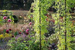 Cyclanthera pedata growing over a metal pergola