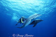trainer Mike Schultz with bottlenose dolphins, Tursiops truncatus, at UNEXSO's The Dolphin Experience, off Freeport, Grand Bahama Island, Bahamas ( Western Atlantic Ocean )