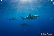 tiger sharks, Galeocerdo cuvier, North Shore, Oahu, Hawaii, USA ( Central Pacific Ocean ) (de)