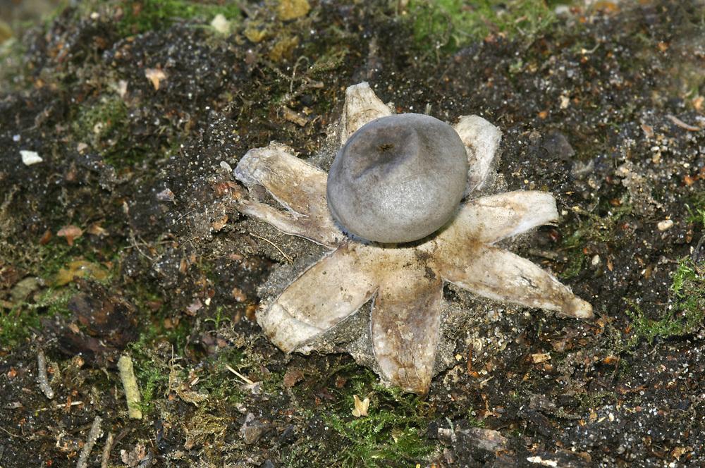Crowned Earthstar - Geastrum coronatum
