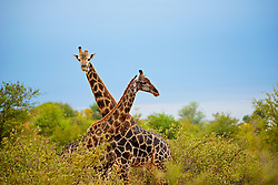 Apr 16, 2015 - South Africa - A male Giraffe approaches a young female to access her receptiveness to mating (Credit Image: © Shannon Benson/VW Pics/ZUMAPRESS.com)