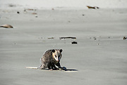 Virginia opossum (Didelphis virginiana) on beach feeding on jellyfish<br /> Little St Simon's Island, Barrier Islands, Georgia<br /> USA