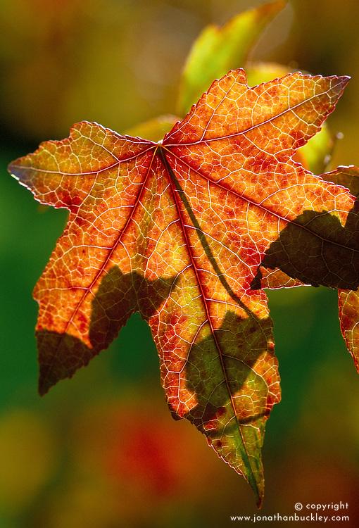 The backlit leaf of Liquidamber styraciflua in autumn. Sweet gum