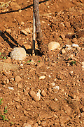Vines in the vineyard. Typical red reddish clay sand sandy soil mixed with pebbles rocks stones in varying amount. Vineyard on the plain near Mostar city. Hercegovina Vino, Mostar. Federation Bosne i Hercegovine. Bosnia Herzegovina, Europe.