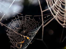 Little spider on the web with dew drops early in the morning, Yach Elzach, Black Forest, Baden-Wuerttemberg, Germany