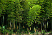 Bamboo forest in Anji. Anji county is well known for its bamboo, containing  60,000 hectares of bamboo groves