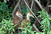 Limpkin Aramus guarauna chicks Arthur R Marshall National Wildlife Reserve Loxahatchee Florida USA