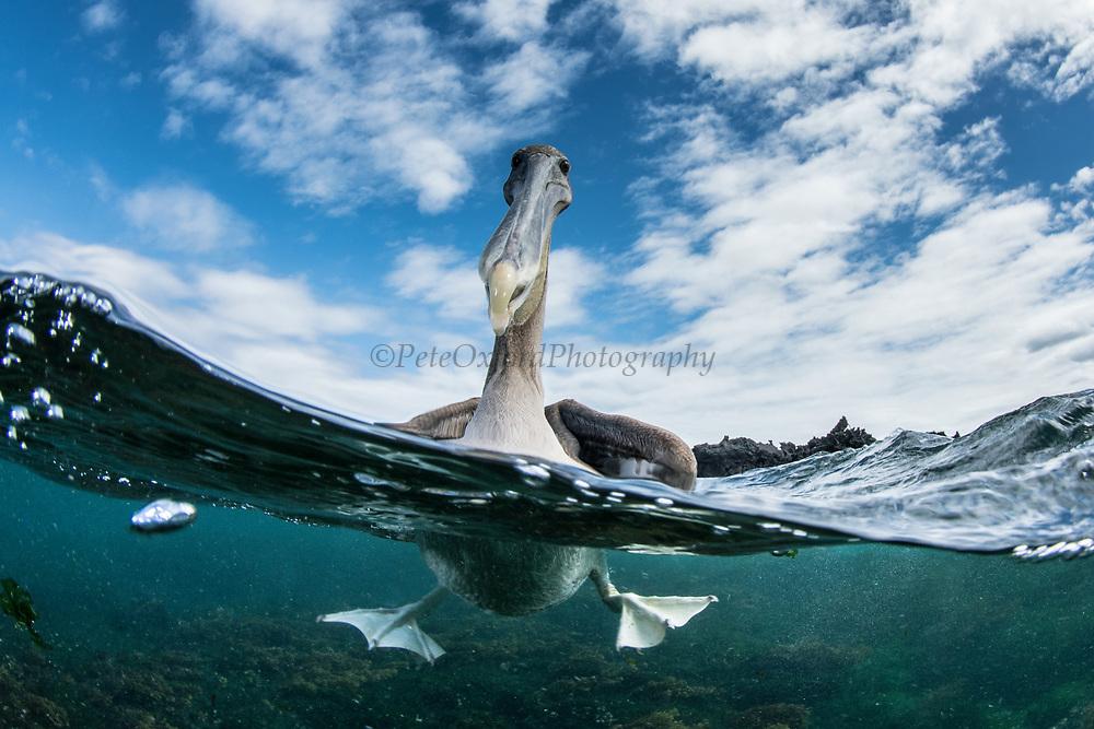 Brown Pelican (Pelecanus occidentalis urinator)<br /> Urvina Bay, Isabela Island<br /> Galapagos<br /> Ecuador,  South America