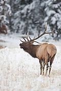 Trophy bull elk in autumn with snow