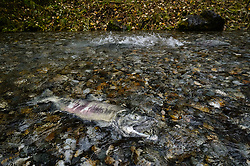 A dead male salmon lies in the special spawning channel of Herman Creek near Haines after being harvested for its milt by fish technicians with the nonprofit Northern Southeast Regional Aquaculture Association, Inc. (NSRAA). NSRAA built the channel to collect wild broodstock by harvesting spawning female and male salmon for their eggs and milt. In the background, another wild chum salmon powers his way up the creek to spawn. Because the salmon would have died in the creek had it spawned, the NSRAA fish technicians return harvested fish to the creek for bears and other animals to eat just as they would have done had the fish died naturally.<br /> <br /> These salmon are returning to freshwater Herman Creek after three to five years in the saltwater ocean. Spawning only once, chum salmon die approximately two weeks after they spawn. Both sexes of adult chum salmon change colors and appearance upon returning to freshwater. Unlike male sockeye salmon which turn bright red for spawning, male chum salmon change color to an olive green with purple and green vertical stripes. These vertical stripes are not as noticeable in females, who also have a dark horizontal band. Both male and female chum salmon develop hooked snout (type) and large canine teeth. These features in female salmon are less pronounced. <br /> <br /> Herman Creek is a tributary of the Klehini River and is only 10 miles downstream of the area currently being explored as a potential site of a copper and zinc mine. The exploration is being conducted by Constantine Metal Resources Ltd. of Vancouver, British Columbia along with investment partner Dowa Metals & Mining Co., Ltd. of Japan. Some local residents and environmental groups are concerned that a mine might threaten the area's salmon. Of particular concern is copper and other heavy metals, found in mine waste, leaching into the Klehini River and the Chilkat River further downstream. Copper and heavy metals are toxic to salmon and bald eagles.