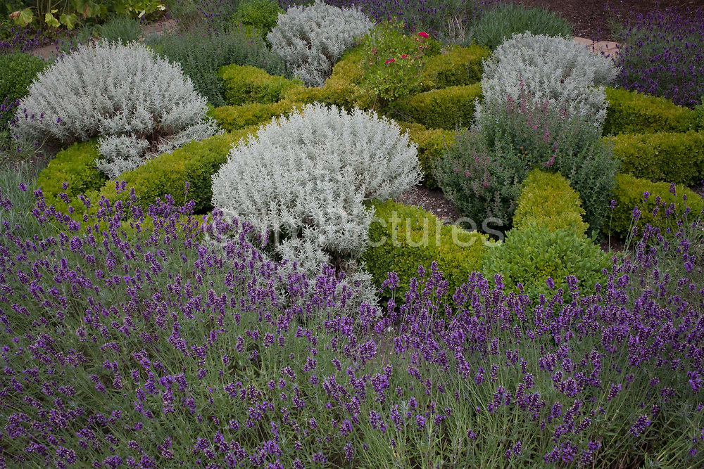 A detail of a herb garden in the grounds of Norwich Cathedral, Norfolk. Shrubs of many varieties and species grown for medicinal purposes as well as lavender for its scent and remedial properties, are growing together in this generic garden within the land owned by the Norwich Anglican diocese.