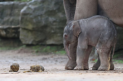 A female Asian elephant calf, as yet unnamed, which was born at Chester Zoo last night.