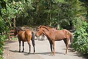Wild Horses, Waipio Valley, Hamakua Coast, Island of Hawaii