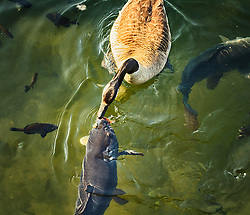 A customer at Maynard's tossed a piece of bread in the lake for the geese when it landed right on this carp's head as it was surfacing. All of a sudden this goose swam over and ate the bread right off of the carp's head.
