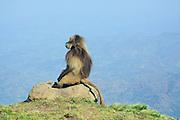 Africa, Ethiopia, Simien mountains, male Gelada monkey Theropithecus gelada
