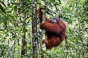 Kato - a large male orang-utan - climbs into the forest, ending almost a lifetime of captivity, at his release site in Bukit Baka Bukit Raya National Park in Central Kalimantan, Borneo, Indonesia on 23rd May 2017.  Kato, and 5 female orang-utans, have come from Nyaru Menteng Rehabilitation Centre, run by the Borneo Orangutan Survival Foundation to be released back into the wild. Kato was rescued in 2003 after being kept illegally as a pet. He has undergone a long rehabiliation process that included living on a pre-release island where orang-utans learn how to survive in the wild.