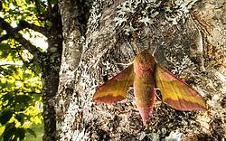 Small elephant hawk-moth (Deilephila porcellus) in Hole, Norway