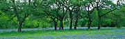 Oak Trees and Blue Bonnets