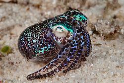 Bobtail Squid, Euprymna berryi, Malapascua Island, Visayan Sea, Philippines, Pacific Ocean
