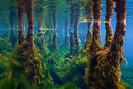 Underwater Scene (Cypress Knees and Lyngbya algae, Florida Springs)<br />