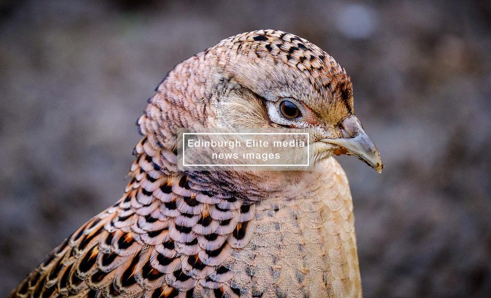 Female pheasant (Phasianus colchicus) in South Lanarkshire, Scotland<br /> <br /> (c) Andrew Wilson   Edinburgh Elite media