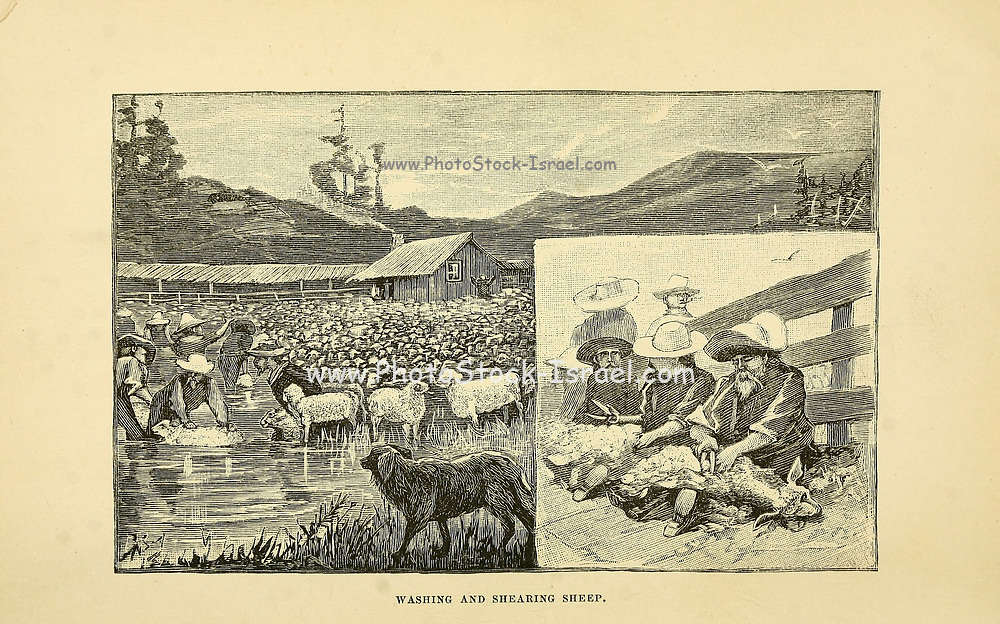 Washing and sheering sheep The beef bonanza; or, How to get rich on the plains. Being a description of cattle-growing, sheep-farming, horse-raising, and dairying in the West by General Brisbin, James S. (James Sanks), 1837-1892. Published in Philadelphia, USA in 1882