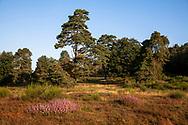 flowering common heather (Calluna vulgaris) and pine trees in the Wahner Heath on Fliegenberg hill, Troisdorf, North Rhine-Westphalia, Germany.<br /> <br /> bluehende Besenheide (Calluna vulgaris) und Kiefern in der Wahner Heide am Fliegenberg, Troisdorf, Nordrhein-Westfalen, Deutschland.