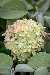 Hydrangea paniculata 'Little Lime' syn. 'Jane' - young flower colour