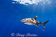 oceanic whitetip shark, Carcharhinus longimanus, off the north Kona Coast of Hawaii Island ( the Big Island ), Hawaiian Islands, U.S.A. ( Central Pacific Ocean )