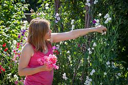 Picking sweet peas. Lathyrus odoratus