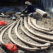 Student engaged in laborious and smelly task of cleaning rib bones of an 18-meter female fin whale (Balaenoptera physalus) that was found in Tokyo Bay in early 2012 and buried for about 16 months to facilitate decomposition.