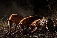 Tüpfelhyänen oder Fleckenhyänen (Crocuta crocuta) haben die Impala-Beute einer Leoparding geräubert, Schutzgebiet Sabi Sands, Südafrika<br /> <br /> Spotted hyenas (Crocuta crocuta) took over the impala prey of a female leopard, private game reserve Sabi Sands, South Africa