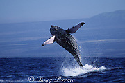 humpback whale, Megaptera novaeangliae, breaching, Hawaii Island, #3 in sequence of 6; caption must include notice that photo was taken under NMFS research permit #587