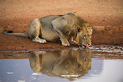 Lion (Panthera leo) drinking<br /> Marakele Private Reserve, Waterberg Biosphere Reserve<br /> Limpopo Province<br /> SOUTH AFRICA