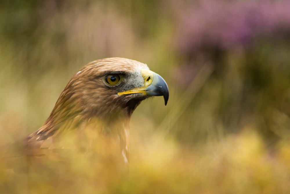 Common Eagle in the moorland, Leicestershire.
