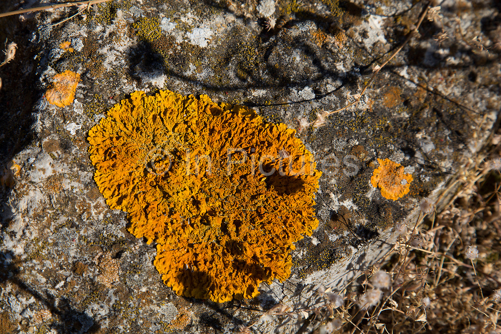 Orange lichen on a rock at Gruissan, Languedoc-Roussillon, France. A lichen is a composite organism that arises from algae or cyanobacteria (or both) living among filaments of a fungus in a mutually beneficial relationship (symbiotoc relationship). The whole combined life form has properties that are very different from properties of its component organisms. Lichens come in many colors, sizes, and forms. The properties are sometimes plant-like, but lichens are not plants.