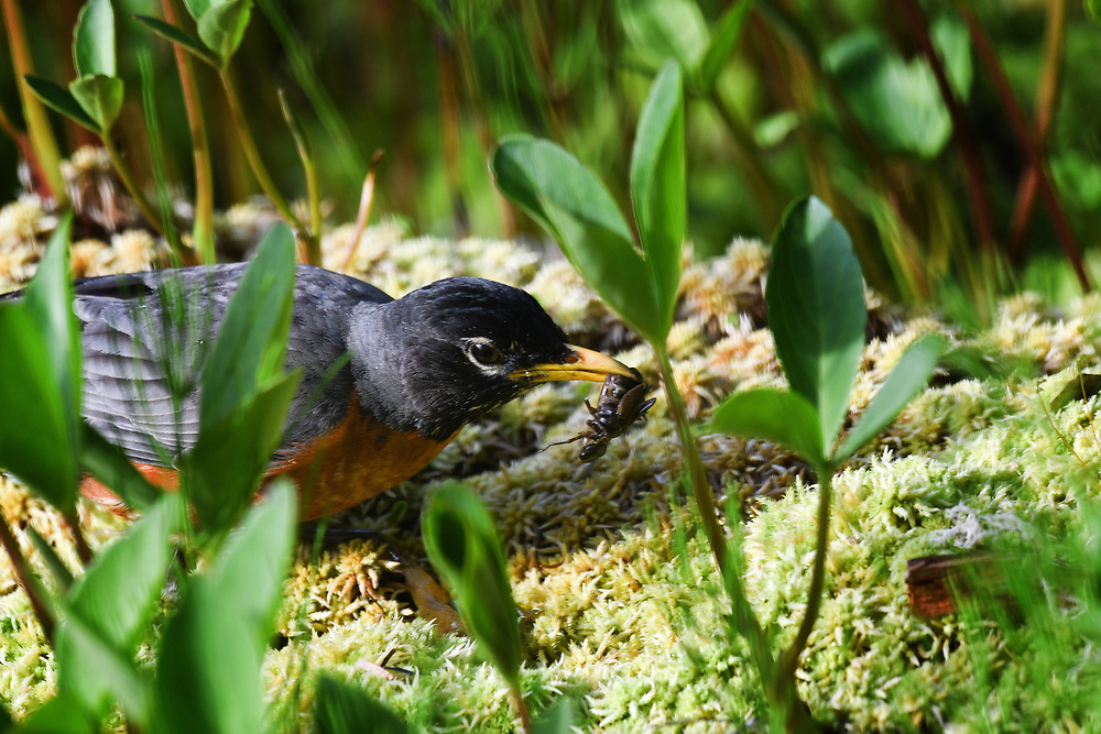 An American Robin catches a bug on the edge of a muskeg in Glacier Bay National Park, Alaska