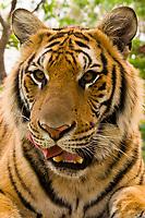 Tiger, Tiger Kingdom, Mae Rim village, near Chiang Mai, Northern Thailand