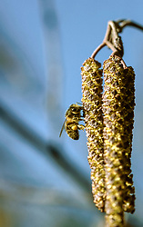 Zwarte els, Alnus glutinosa