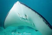 southern stingray, Hypanus americanus, formerly Dasyatis americana, Grand Cayman ( Caribbean Sea )