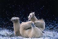 Polar Bear playing with it's feet. Ursus maritimus, Churchill, Canada