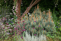 Pinus sylvestris 'Glauca' (blue Scot's pine) with Aquilegia vulgaris var. stellata 'Ruby Port' and Anthriscus sylvestris 'Ravenswing' (Dark leaved cow parsley)
