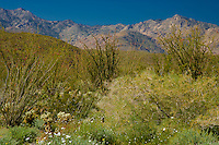 lush spring growth in the Anza-Borrego Desert with the  San Ysidro Mountain Range in the background, California, USA