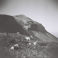 1. When was this photo taken?<br /> <br /> End of August, 2011<br /> <br /> 2. Where was this photo taken?<br /> <br /> Top of Mount Timpanogos, Utah<br /> <br /> 3. Who took this photo?<br /> <br /> I did!<br /> <br /> 4. What are we looking at here?<br /> <br /> Three mountains goats grazing on wild flowers and grass at the top of Timp. The cliff in the background was created by a glacier moving down the mountainside.<br /> <br /> 5. How does this old photo make you feel?<br /> <br /> Homesick. Growing up, I felt this mountain was an integral part of my internal and external landscape. Timpanogos watched over me as I climbed the cherry tree in our backyard, as I fought with boys who didn't let me play soccer with them, as I hiked with my highschool friends, as I snowboarded down her slopes. Seeing this picture makes me very very sad I live so far away from this mountain, and thankful that I did live in her shadow for my childhood.<br /> <br /> 6. Is this what you expected to see?<br /> <br /> I had no idea what was on this roll. In retrospect I'm not surprised I took this photo because I have other developed rolls from this 3-day hike.<br /> <br /> 7. What kind of memories does this photo bring back?<br /> <br /> Seeing this photo reminds me of the little tin shack we slept in the night before this was taken. It was reasonably warm inside and we slept well, until around 5 in the morning when a sound like thunder and a million pots and pans being dropped at the same time startled us awake. We could see through the doorway that the sun was emerging and the sky was clear, so no thunder. Outside the shack we found half a dozen mountain goats running over a corrugated metal sheet from the shack. The goats were unfazed by us for the entirety of our stay on the mountain.<br /> <br /> 8. How do you think others will respond to this photo?<br /> <br /> I hope people think of how many beautiful places there are just outside the reach of human control.