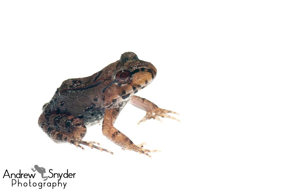 Juvenile Knudsen's thin-toed frog, Leptodactylus knudseni, Kanuku Mountains, Guyana, July, 2014